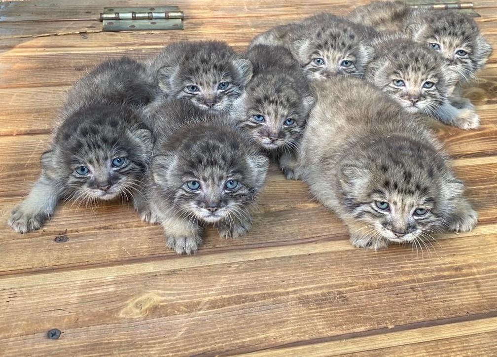 Zoológico da Sibéria registra o nascimento de 16 filhotes de felino raro