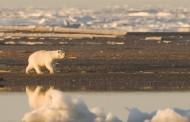Urso-polar pode ser extinto por causa de fome até 2100
