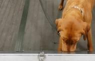 Cientistas alemães descobrem que cachorros podem farejar coronavírus