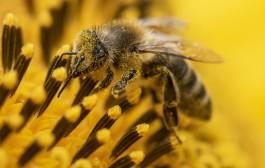 Declínio de abelhas silvestres ameaça cultivos em EUA e Canadá, diz estudo