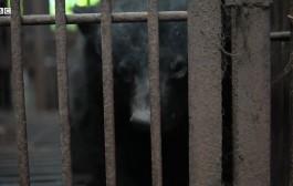 As trágicas fazendas onde ursos vivem em celas até morrerem
