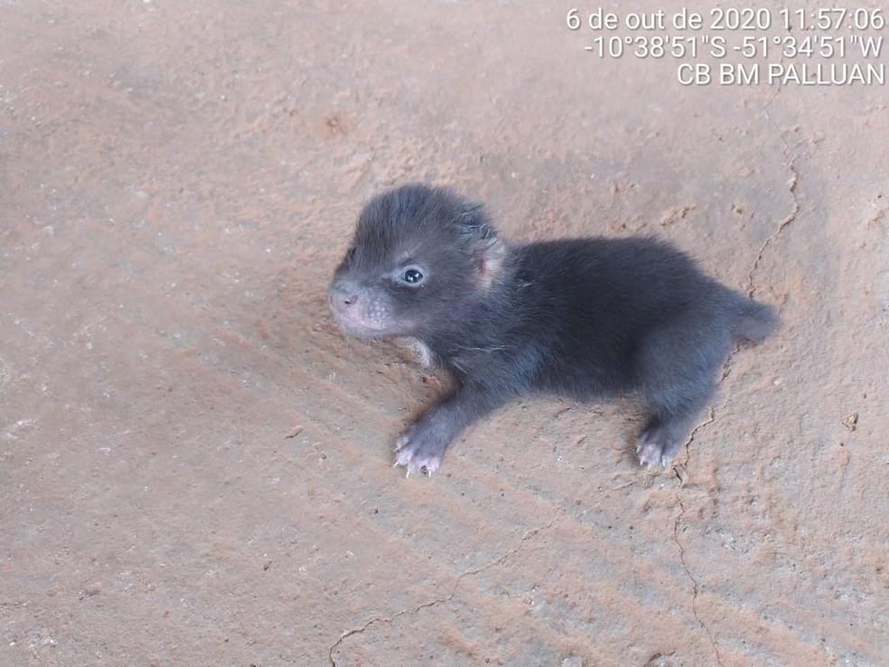 Ameaçado de extinção, filhote de cachorro-vinagre é resgatado perdido em rodovia de MT