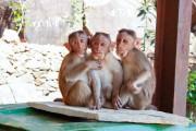 Pesquisadores injetaram DNA humano em macacos e rabino aponta pecado