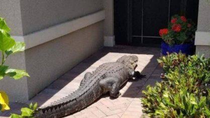 Jacaré é atraído por latido de cachorro e para em frente a porta de uma casa